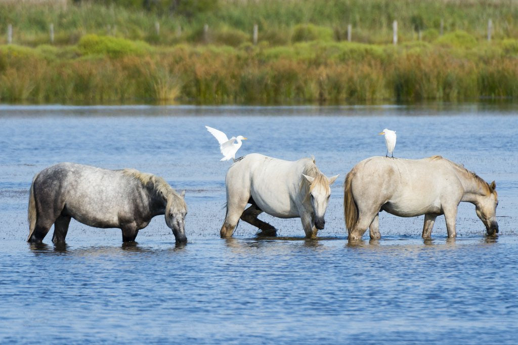 Detail of Camargue wild horses by Corbis