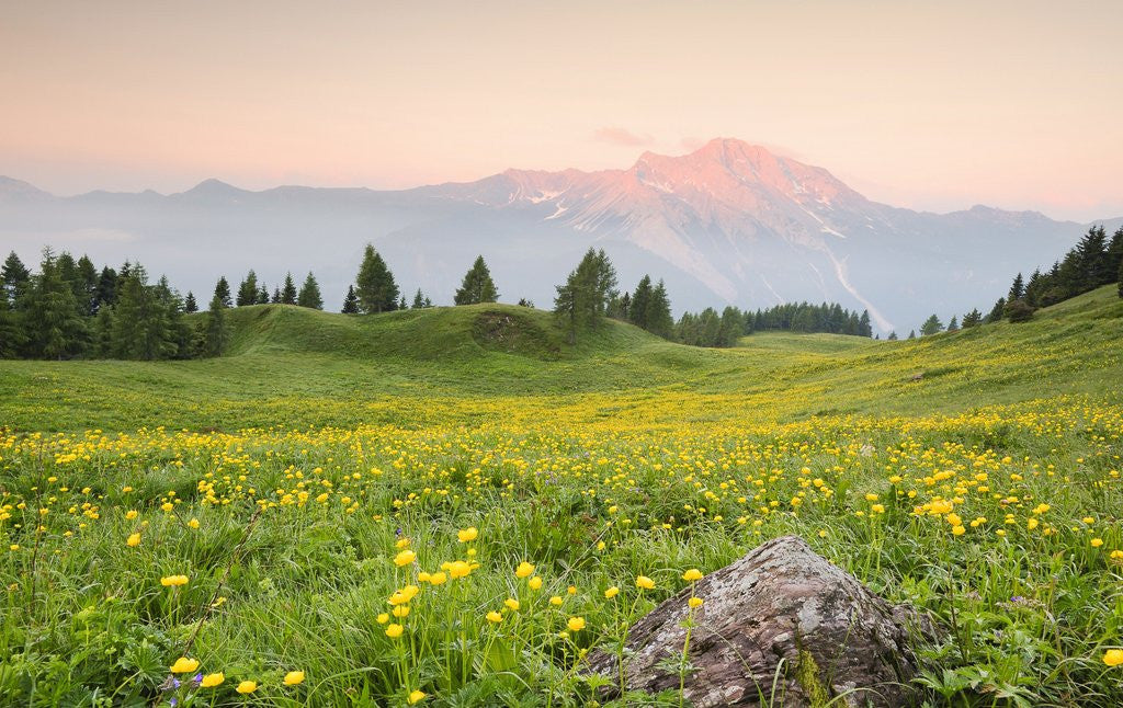 Detail of The mount Bivera emerges dawn behind a spectacular bloom of yellow buttercups, Alpi Carniche , Friu by Corbis