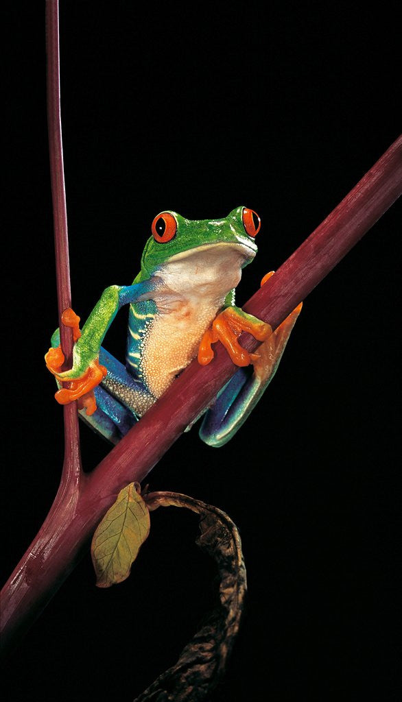 Detail of Agalychnis callidryas (red-eyed treefrog ) by Corbis