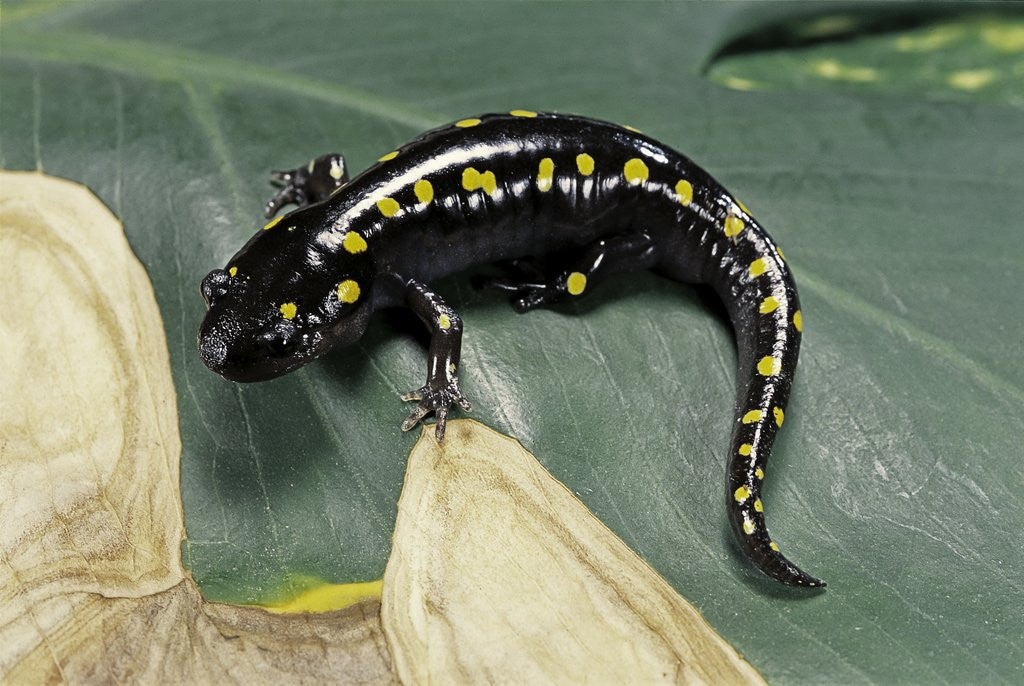 Detail of Ambystoma maculatum (spotted salamander) by Corbis