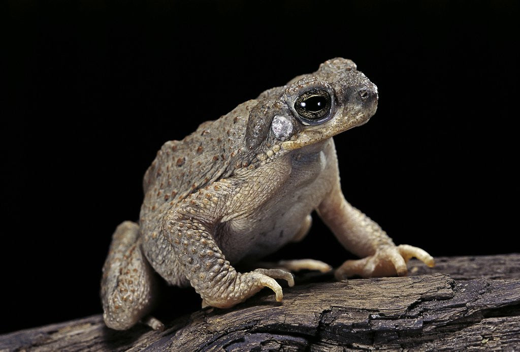 Detail of Anaxyrus punctatus (red-spotted toad) by Corbis