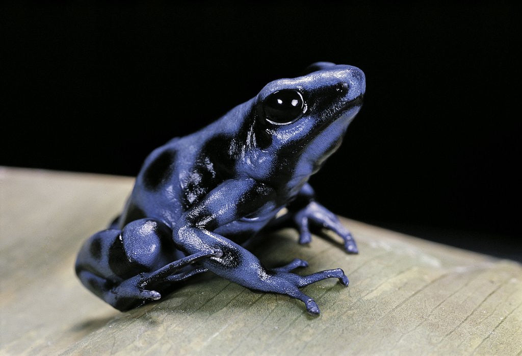 Detail of Dendrobates auratus f. blue (green and black poison dart frog) by Corbis