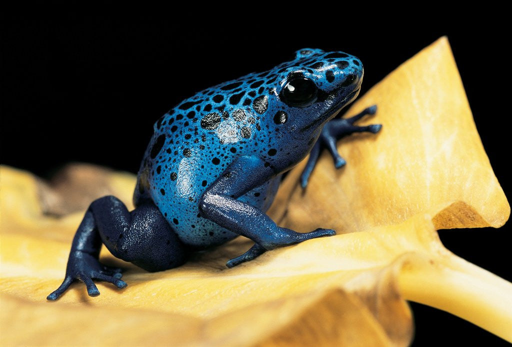 Detail of Dendrobates azureus (blue poison dart frog) by Corbis