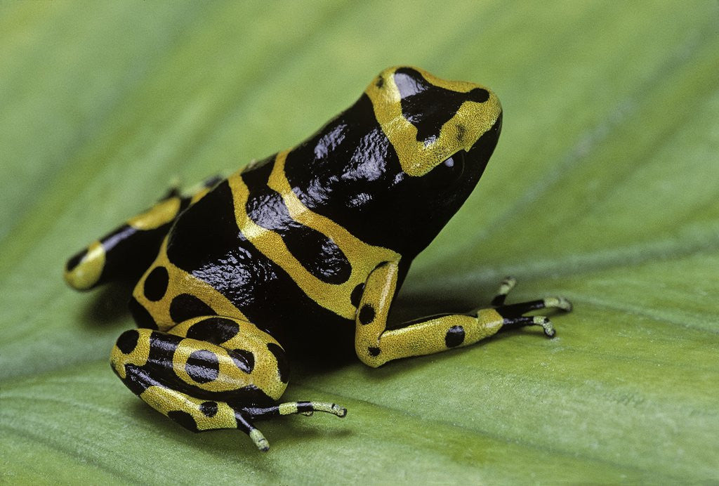Detail of Dendrobates leucomelas (yellow-banded poison dart frog) by Corbis