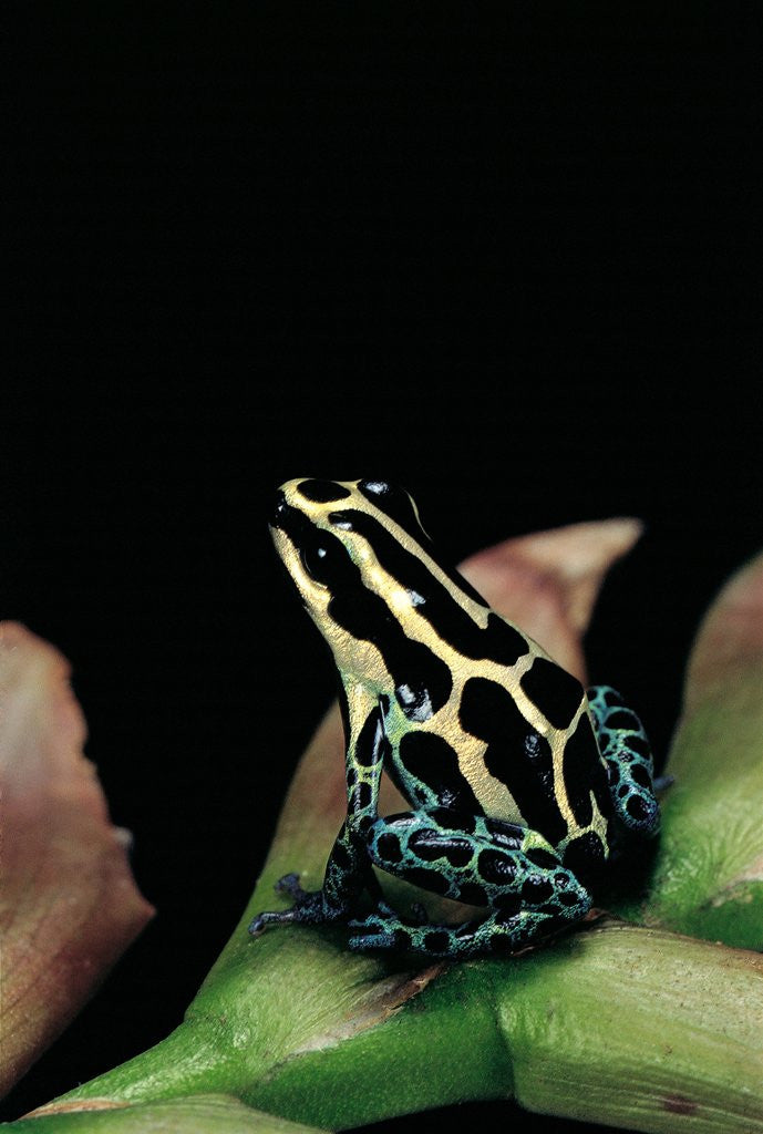 Detail of Ranitomeya ventrimaculata (reticulated poison frog) by Corbis