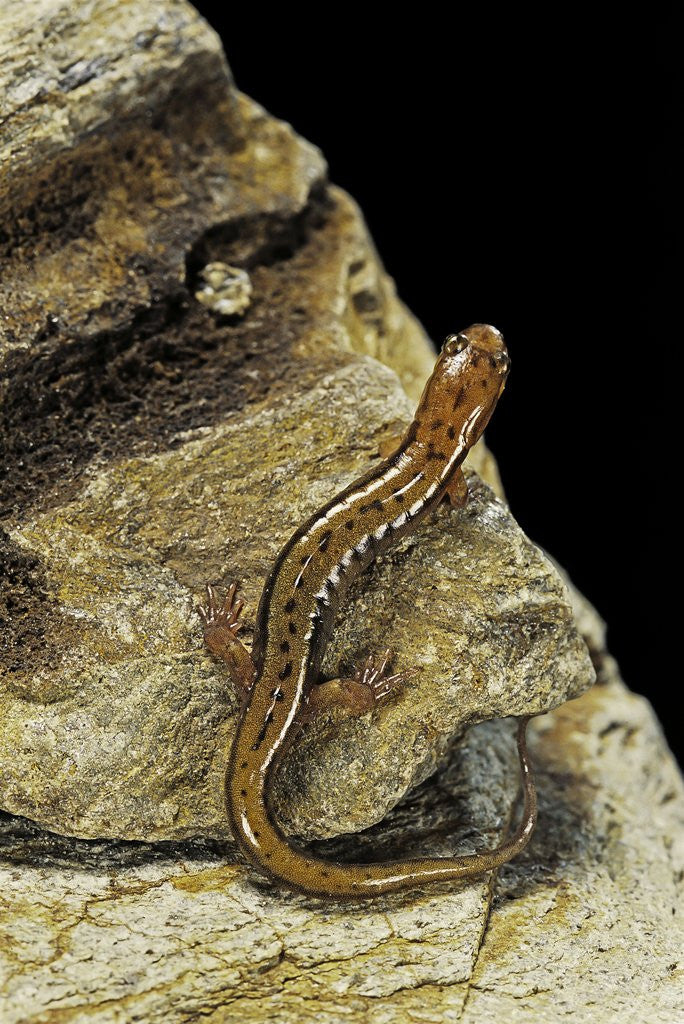 Detail of Eurycea bislineata (northern two-lined salamander) by Corbis