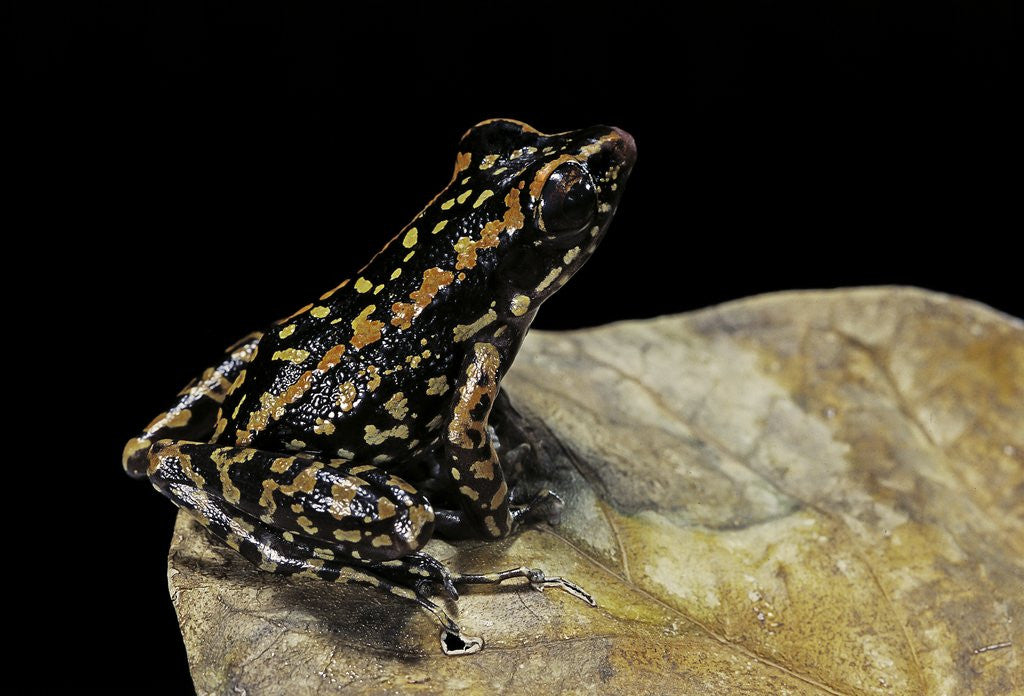 Detail of Hylarana signata (spotted stream frog) by Corbis