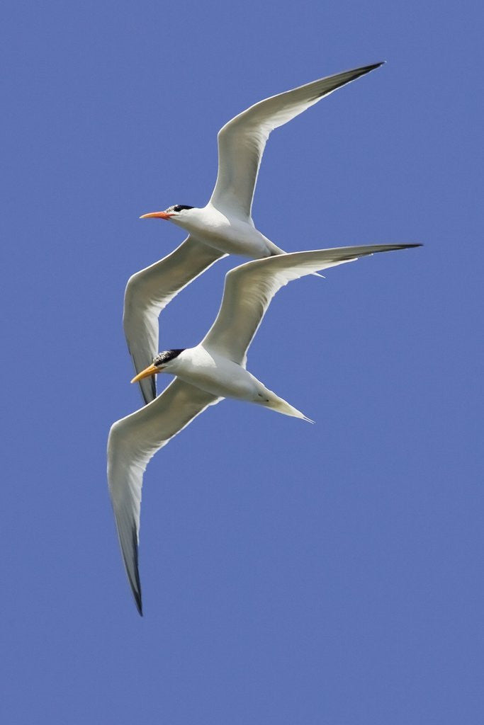 Detail of Pair of Elegant Terns in fight by Corbis