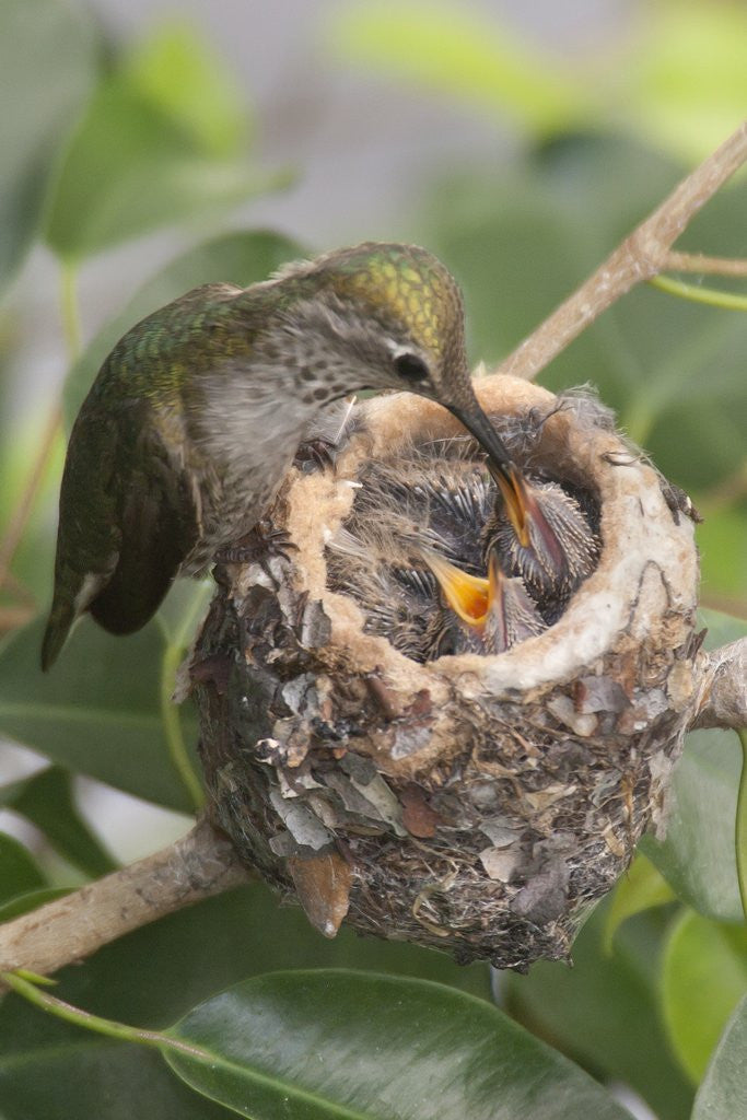 Detail of Anna's Hummingbird feeds chicks in it's nest by Corbis