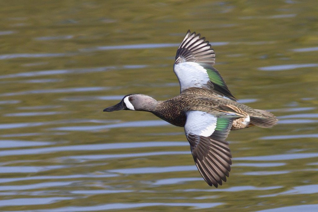 Detail of Blue-Winged Teal drake flys by Corbis