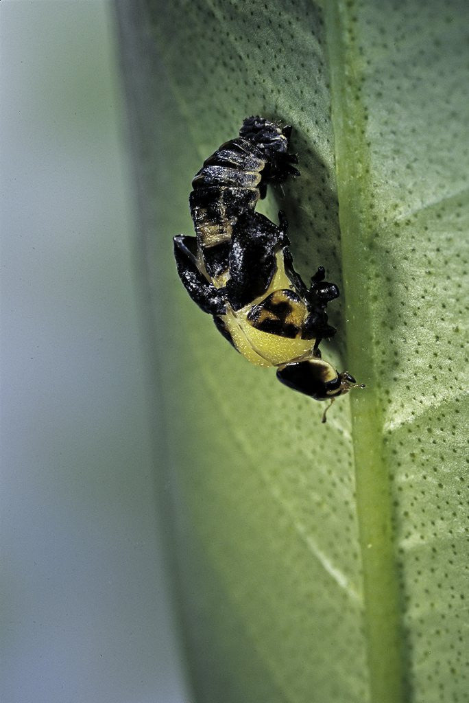 Detail of Adalia bipunctata (twospotted lady beetle) - emerging of the adult by Corbis