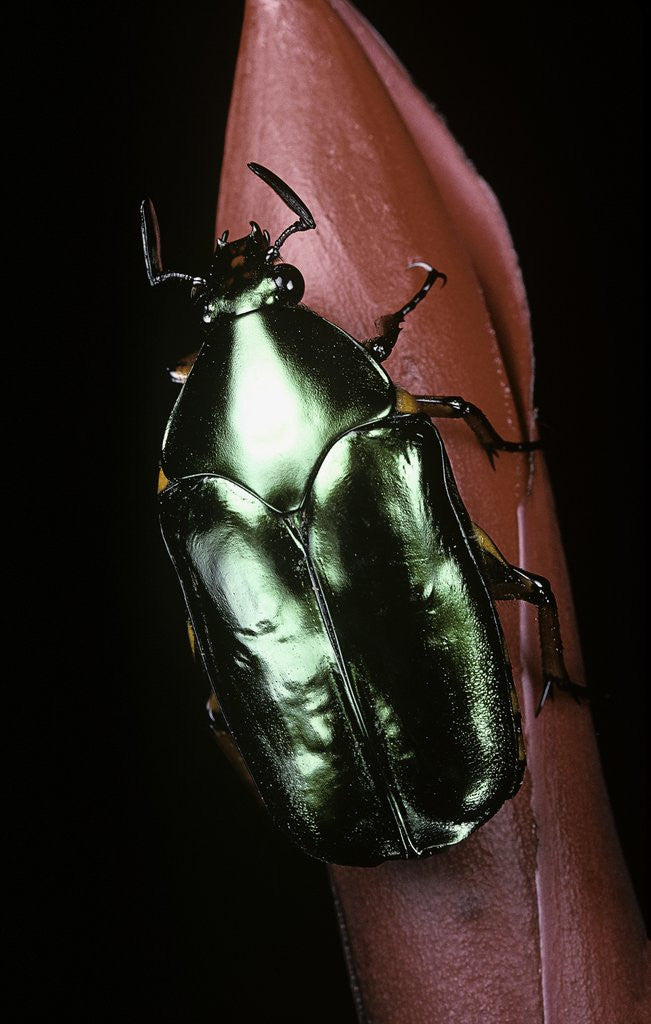 Detail of Agestrata orichalca (flower beetle) by Corbis