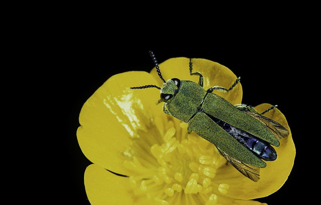Detail of Anthaxia hungarica (jewel beetle) by Corbis