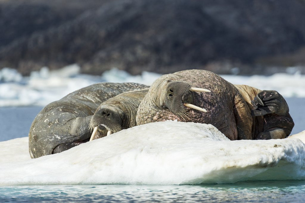 Detail of Walrus Sleeping on Ice in Hudson Bay, Nunavut, Canada by Corbis