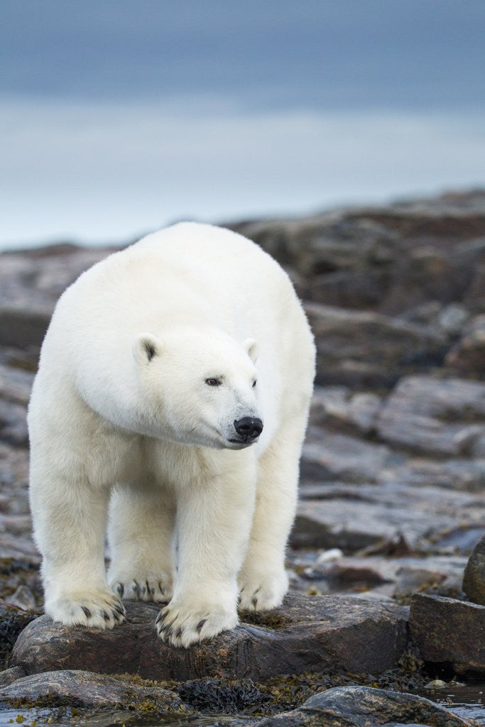 Detail of Polar Bear on Harbour Islands, Hudson Bay, Nunavut, Canada by Corbis