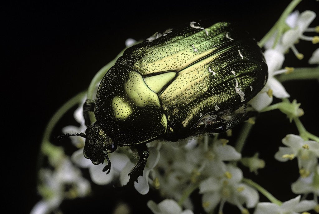 Detail of Cetonia aurata (rose chafer) by Corbis
