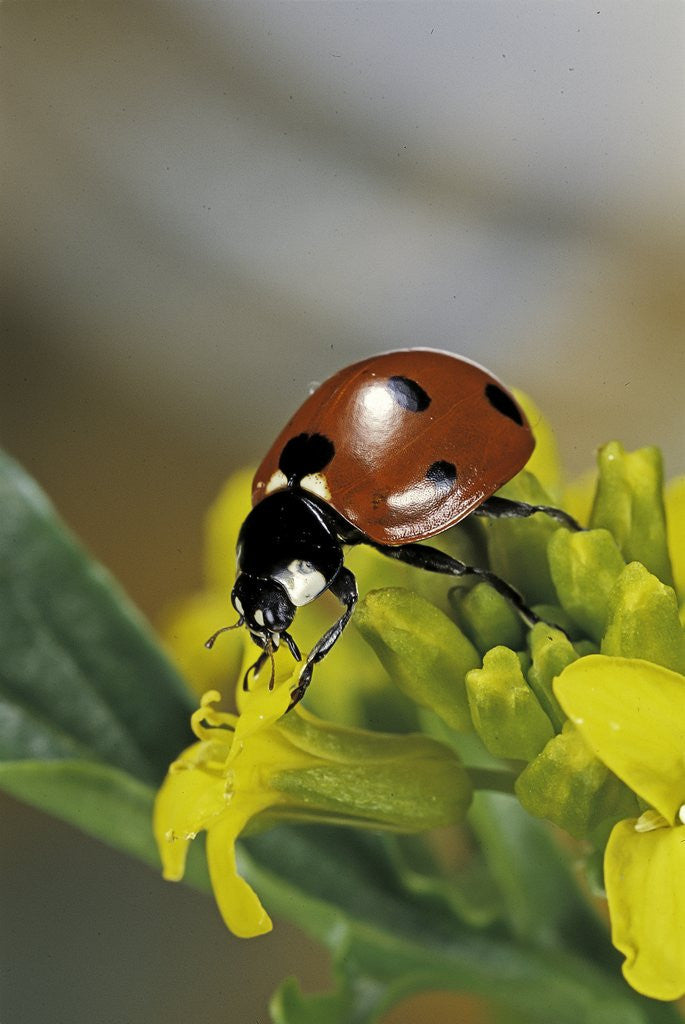 Detail of Coccinella septempunctata (sevenspotted lady beetle) by Corbis