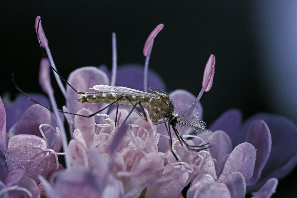 Detail of Culex pipiens (common house mosquito) - on a flower by Corbis