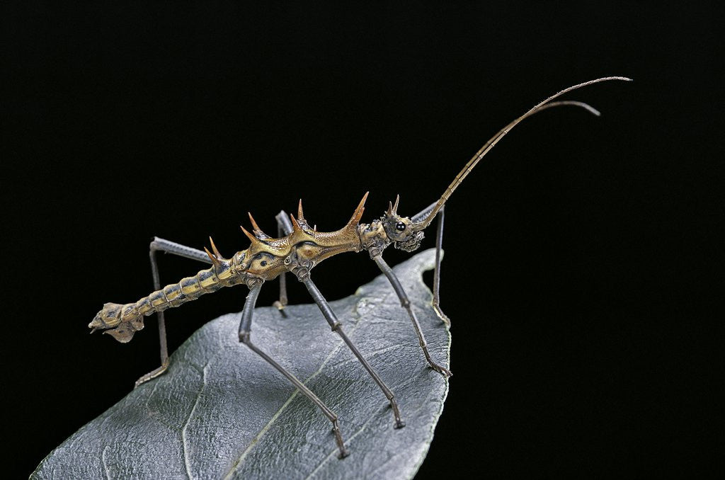 Detail of Epidares nolimetangere (touch me not stick insect) by Corbis