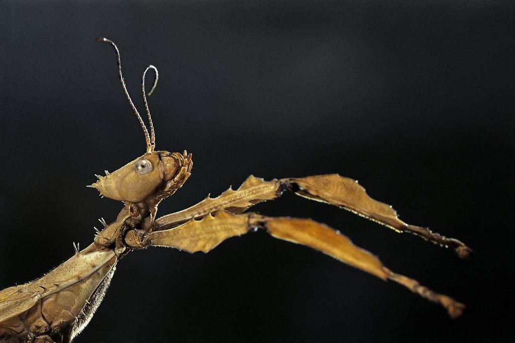 Detail of Extatosoma tiaratum (giant prickly stick insect) by Corbis