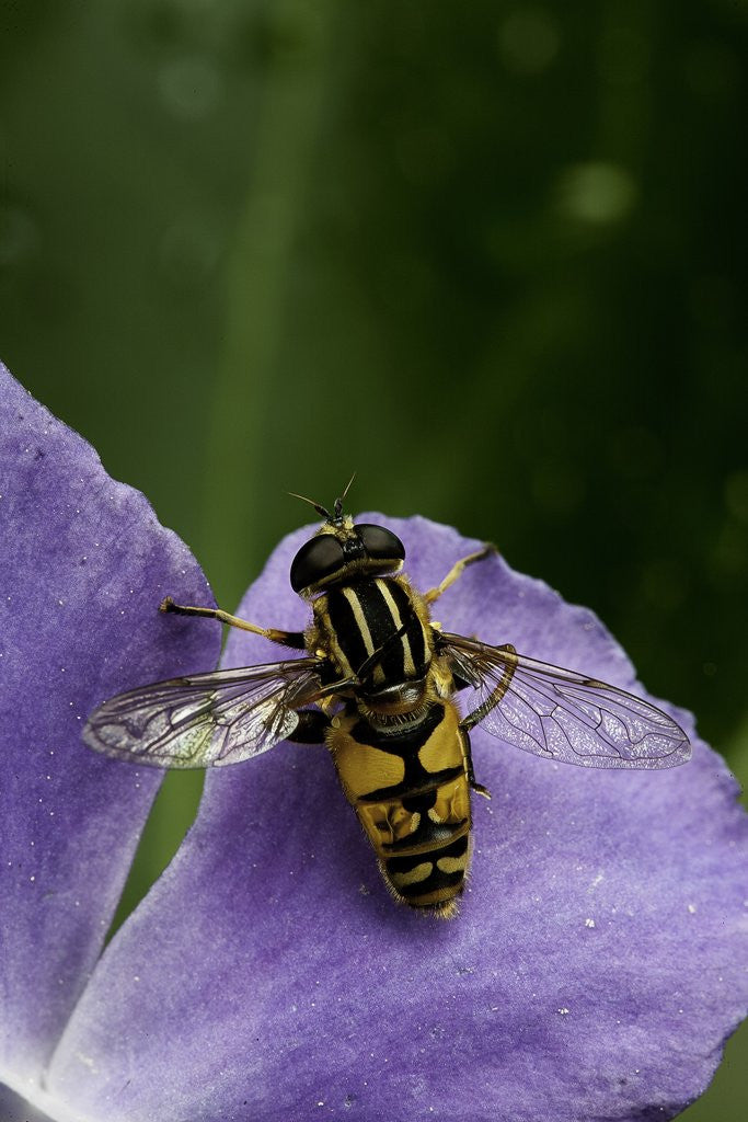 Detail of Helophilus pendulus (hoverfly, sun fly) - cleaning itself by Corbis