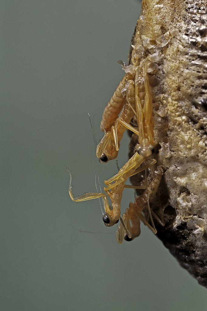 Detail of Mantis religiosa (praying mantis) - hatching by Corbis