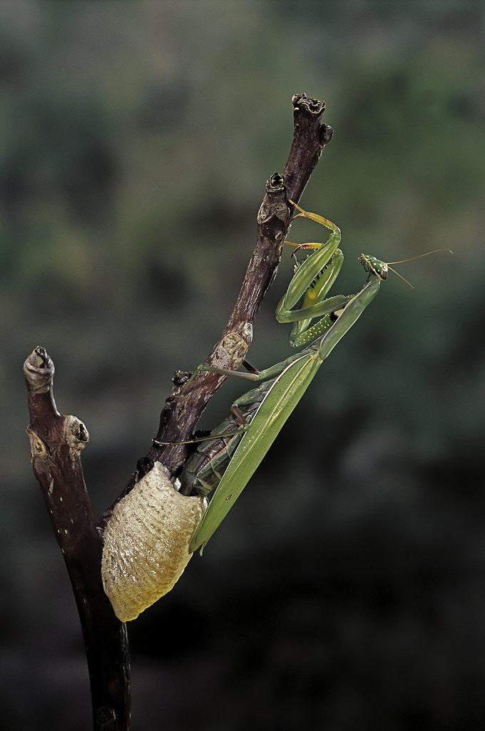 Mantis religiosa (praying mantis) - laying by Corbis