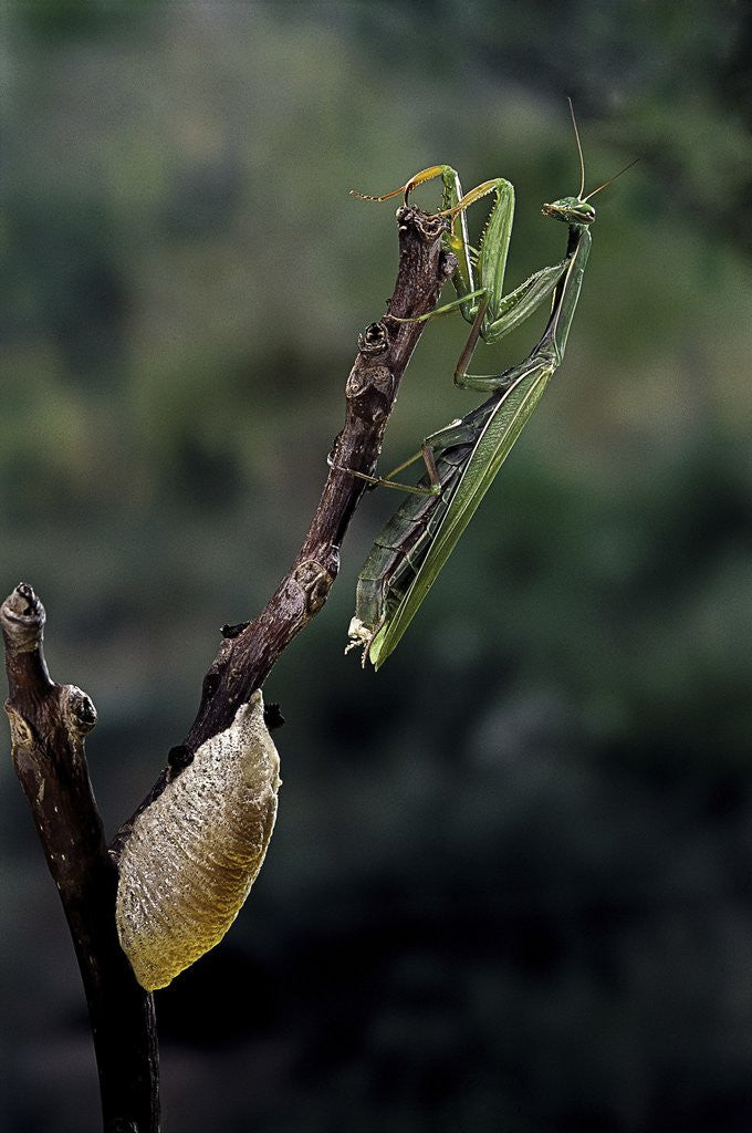 Detail of Mantis religiosa (praying mantis) - laying by Corbis