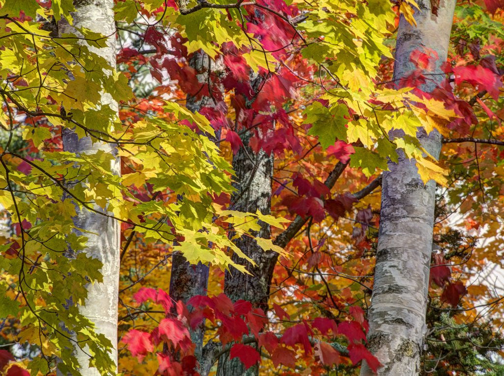 Detail of Autumn colors of maple leaves. by Corbis