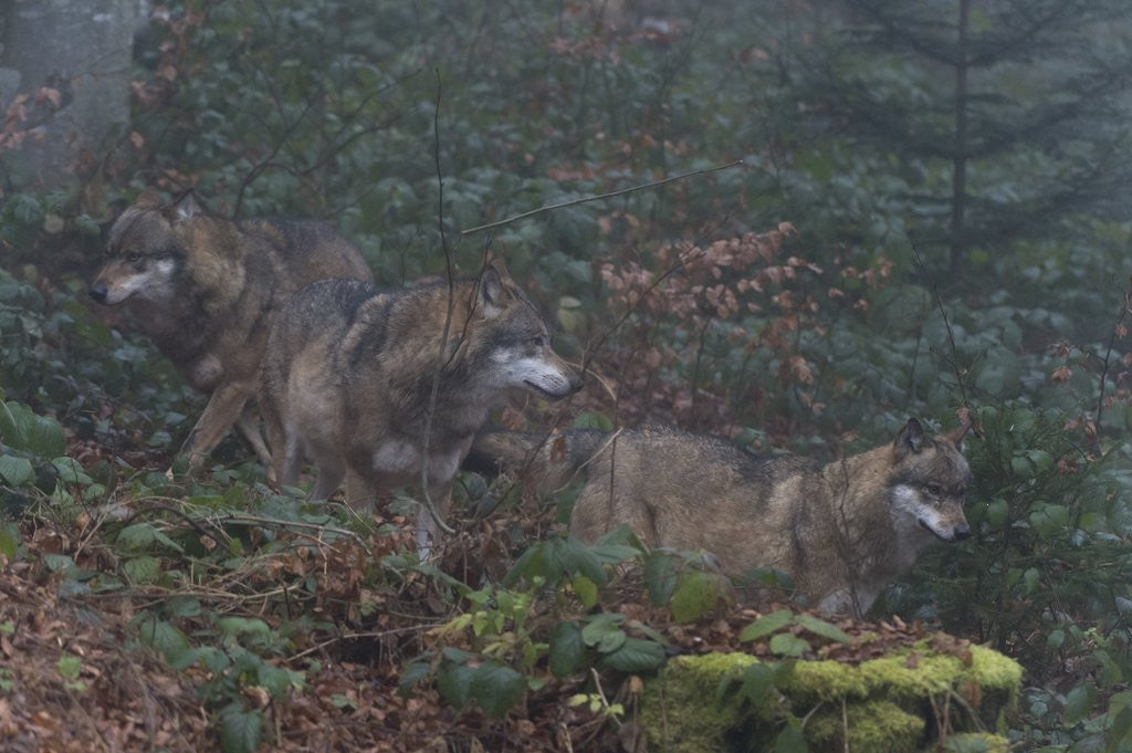 Detail of Gray wolves (Canis lupus), Bavarian Forest National Park. by Corbis
