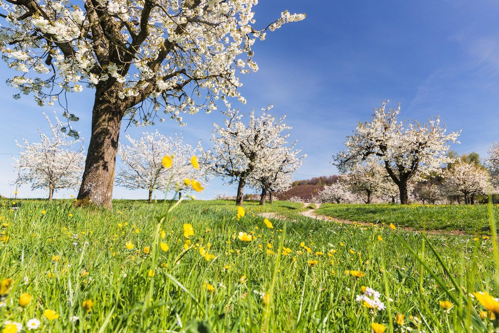 Detail of Cherry orchard in bloom by Corbis