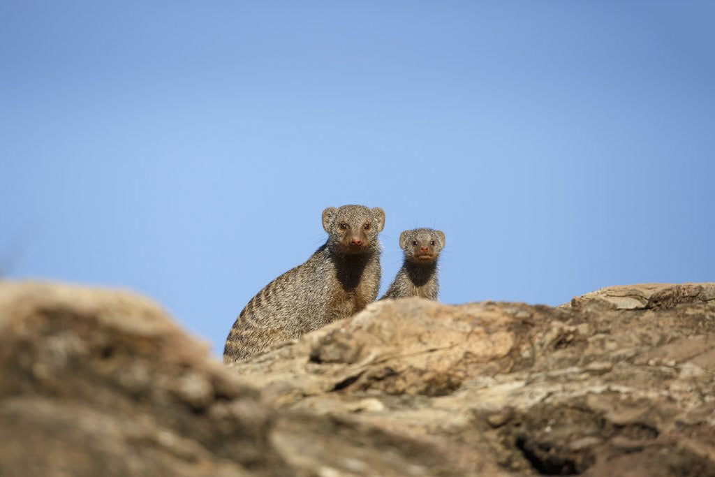 Detail of Banded Mongoose and baby by Corbis