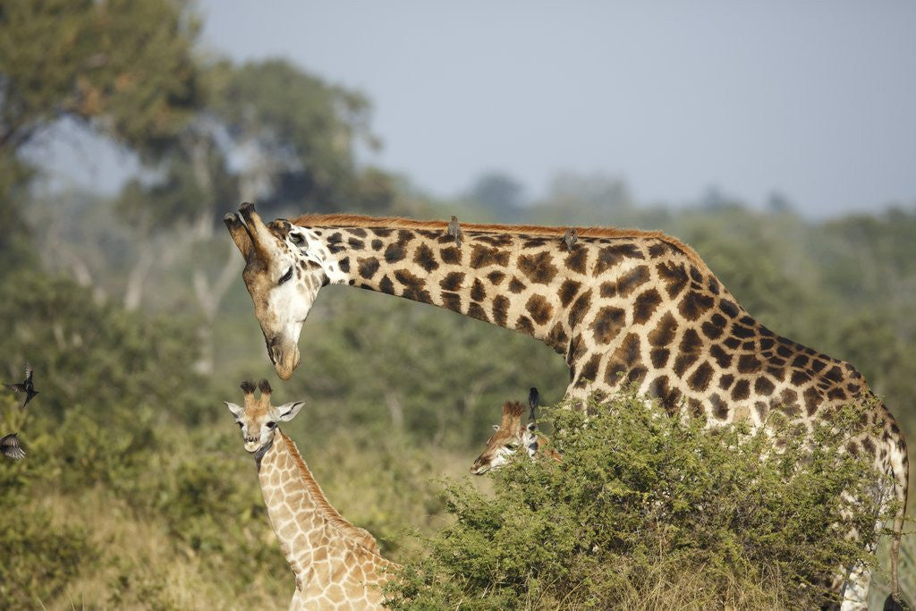 Detail of Giraffe male and calf by Corbis
