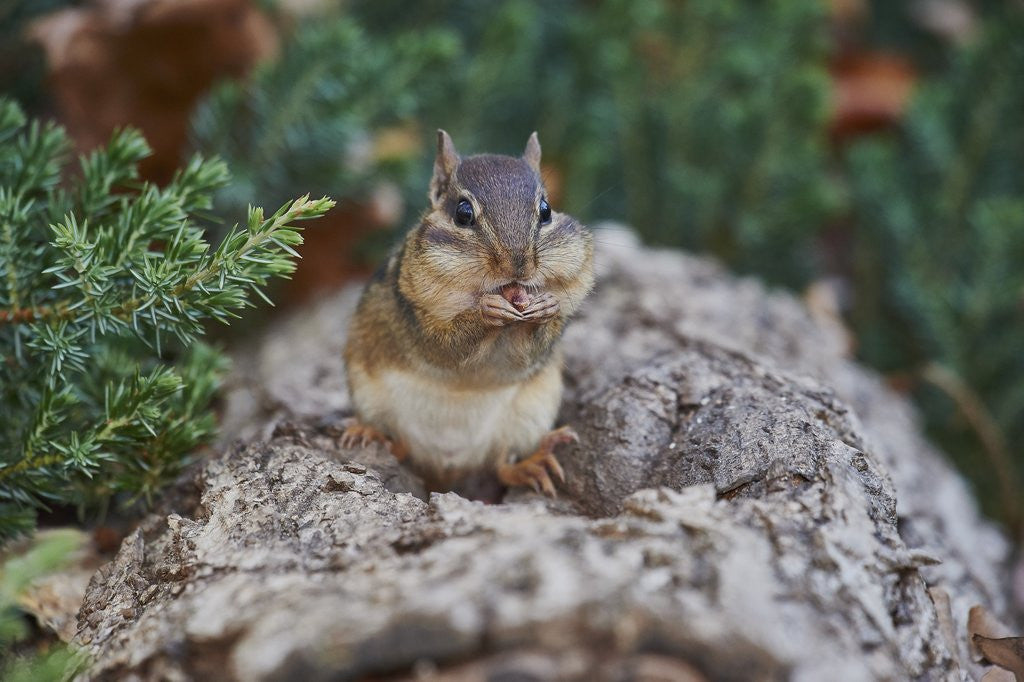 Detail of Eastern Chipmunk by Corbis