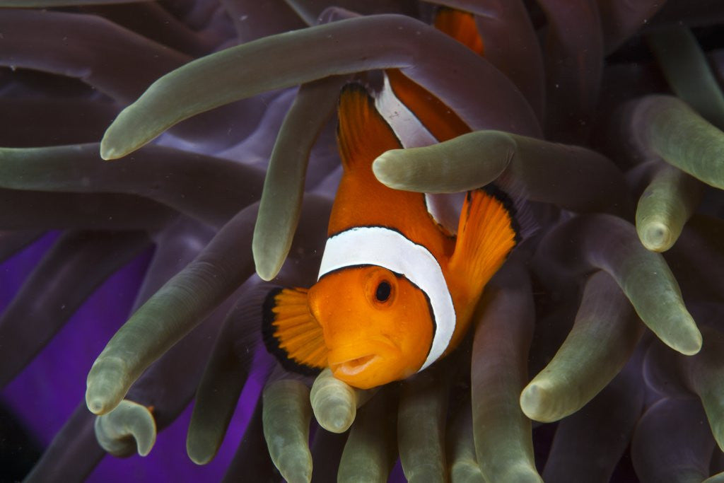 Detail of clown fish and blue anemonie by Corbis