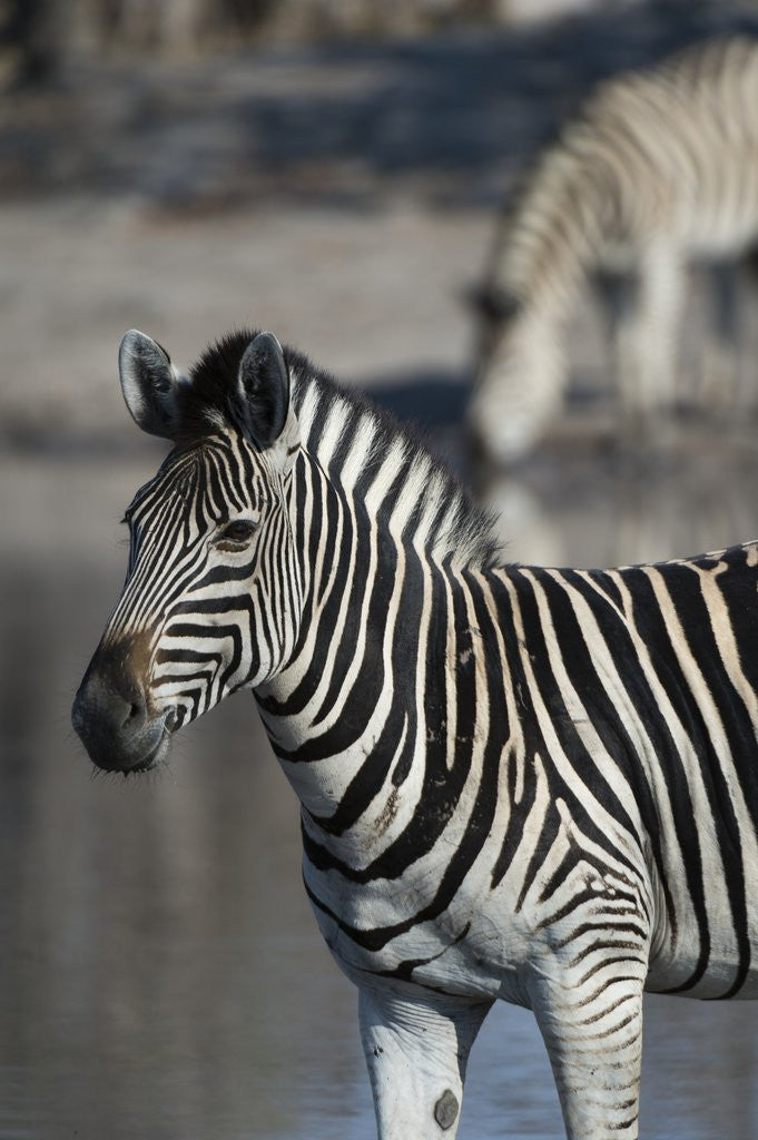 Detail of Zebra by Corbis