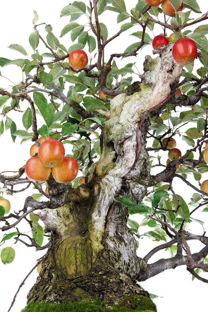 Detail of bonsai apple by Corbis