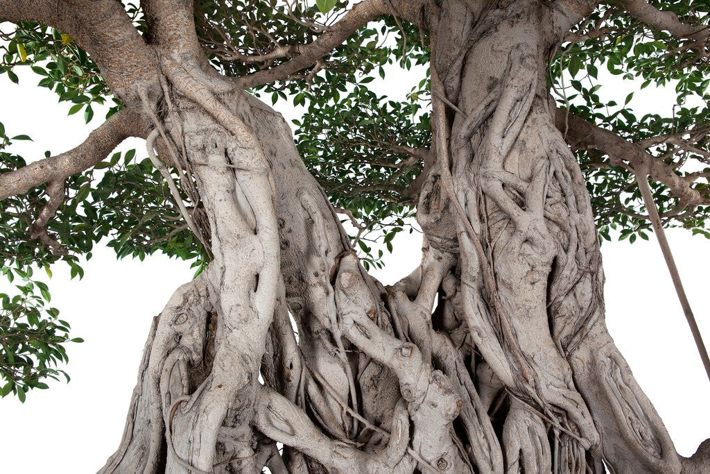 Detail of bonsai ficus by Corbis