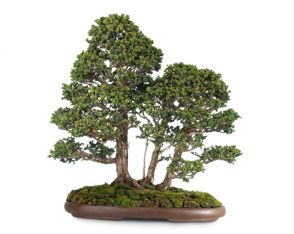 Detail of bonsai by Corbis