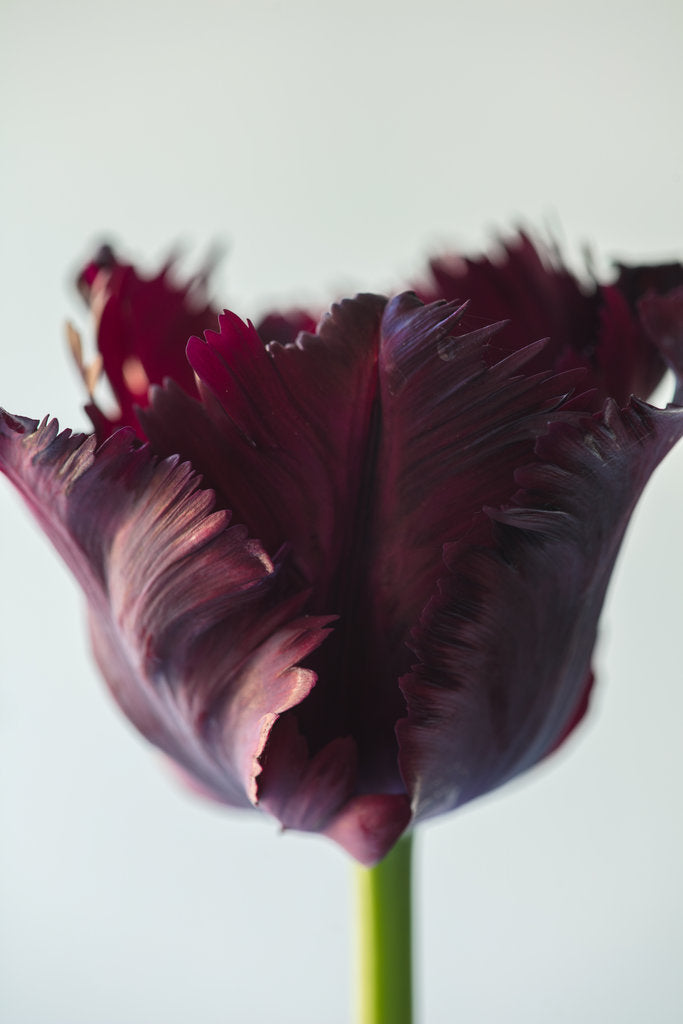 Detail of Tulipa 'Black parrot' by Clive Nichols