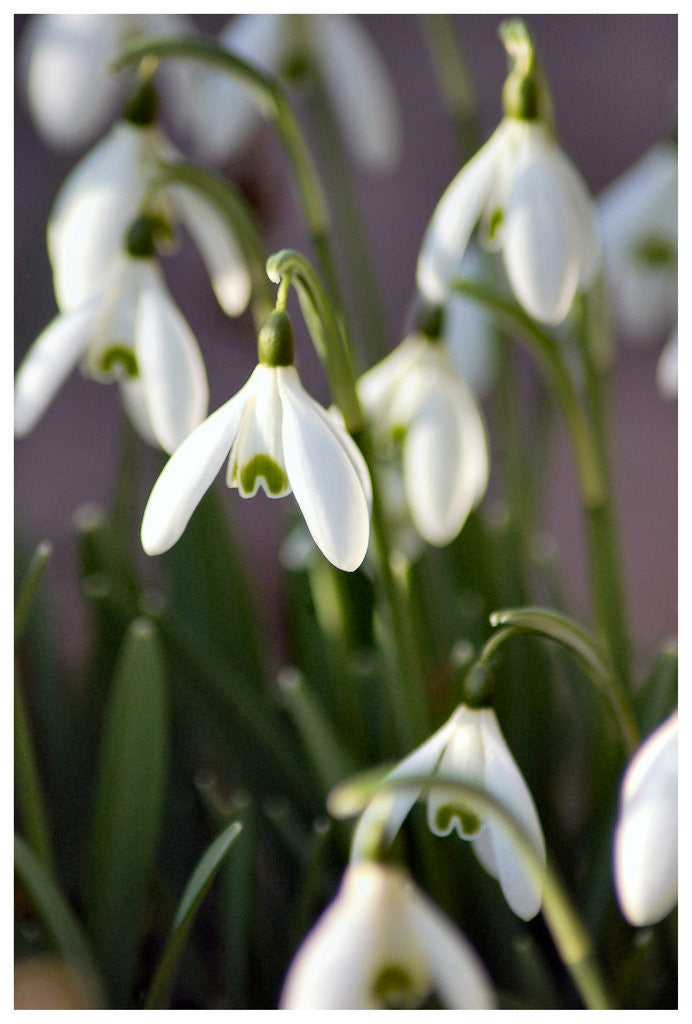 Detail of Snowdrops by Julie Higginbottom