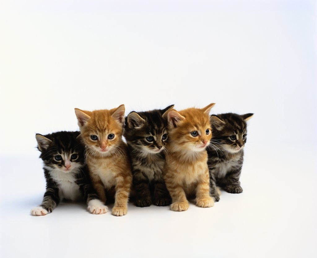Detail of Five Tabby Kittens by Corbis