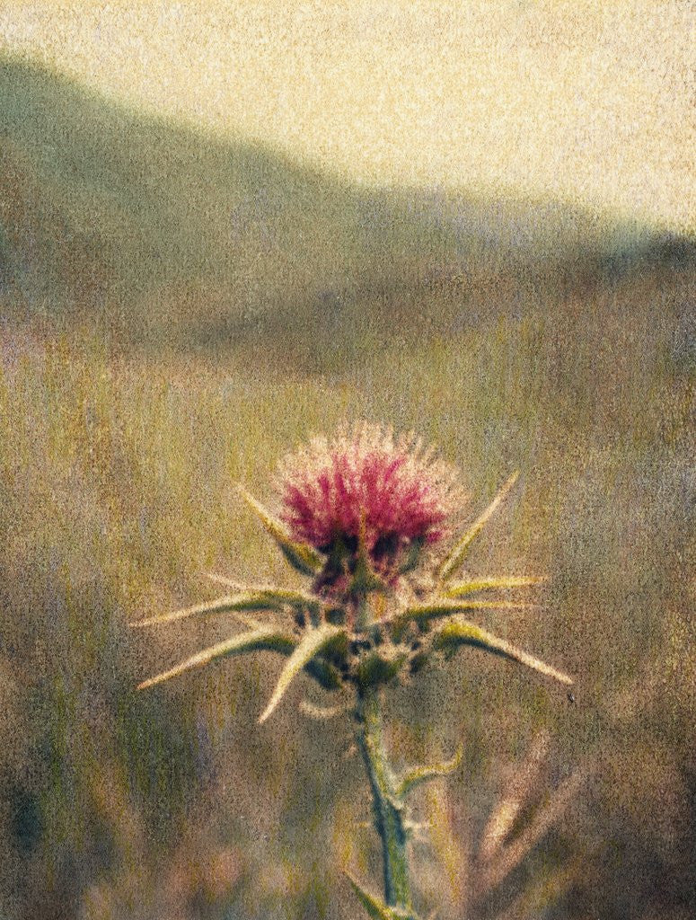 Detail of Thistle #2 by Jennifer Kennard