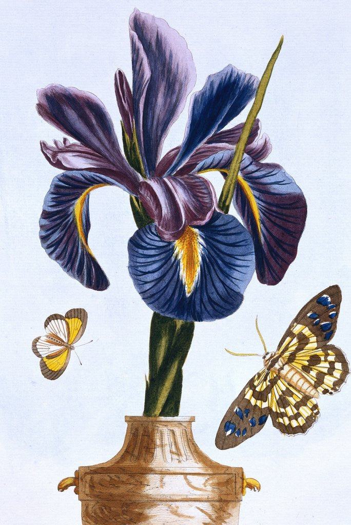 Detail of 18th Century French Print of Common Iris With Butterflies by Corbis