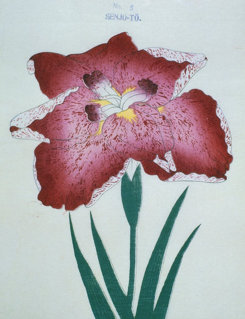 Senjo to book illustration of a red iris posters prints by corbis detail of senjo to book illustration of a red iris by corbis izmirmasajfo