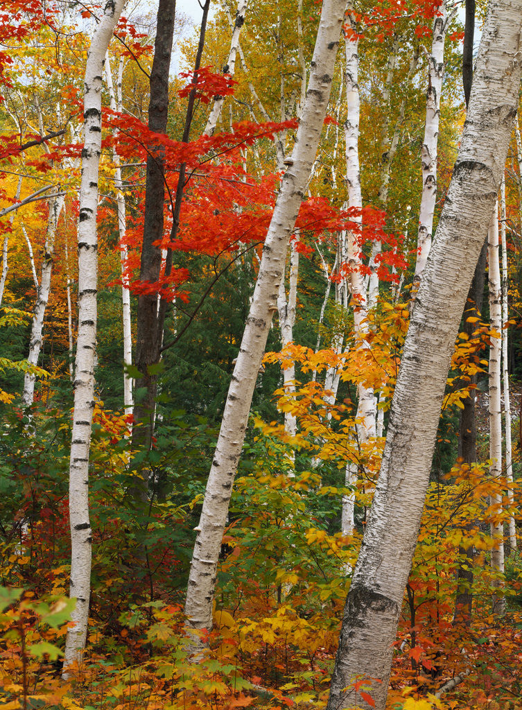 Detail of Birch and Maple Trees in Autumn by Corbis