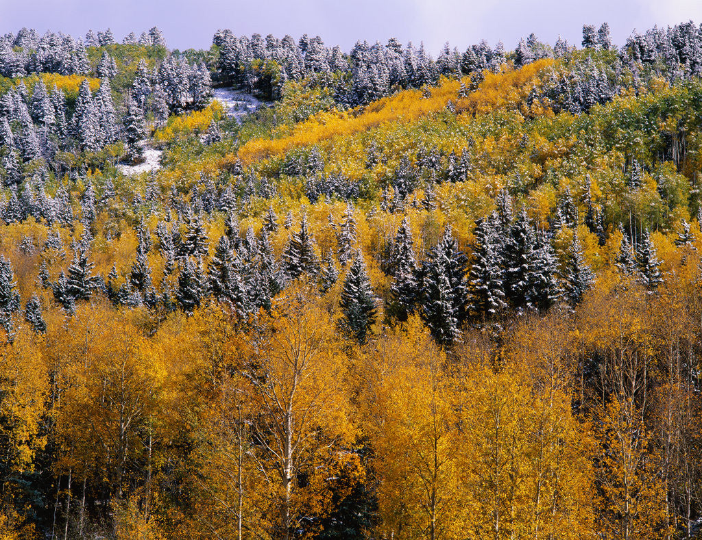Detail of Forest of Aspens and Firs by Corbis