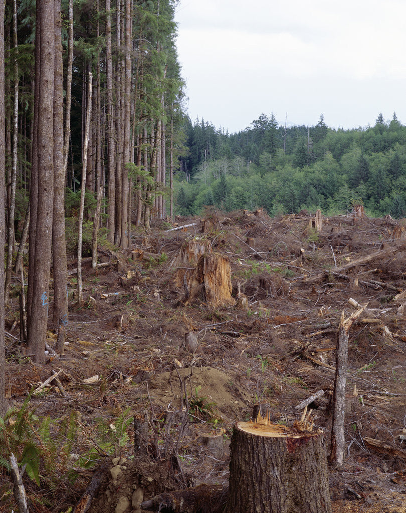 Detail of Clearcut in Olympic National Forest by Corbis