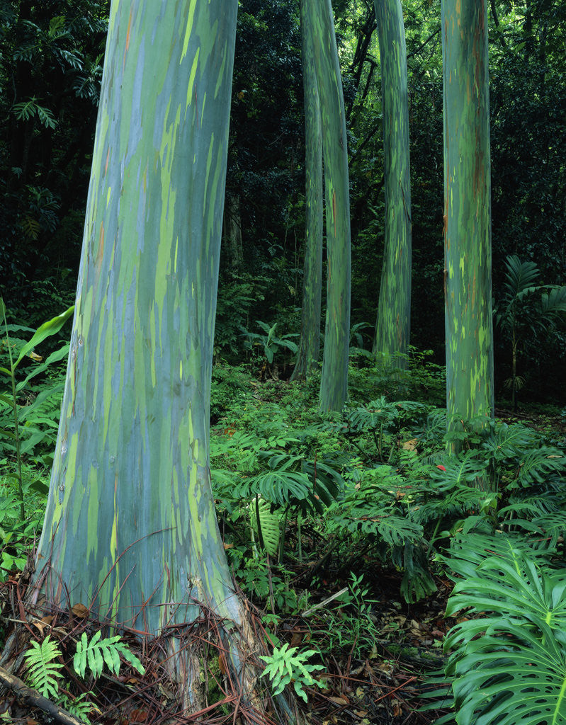 Detail of Rainbow Eucalyptus (Mindanao Gum) Trees by Corbis