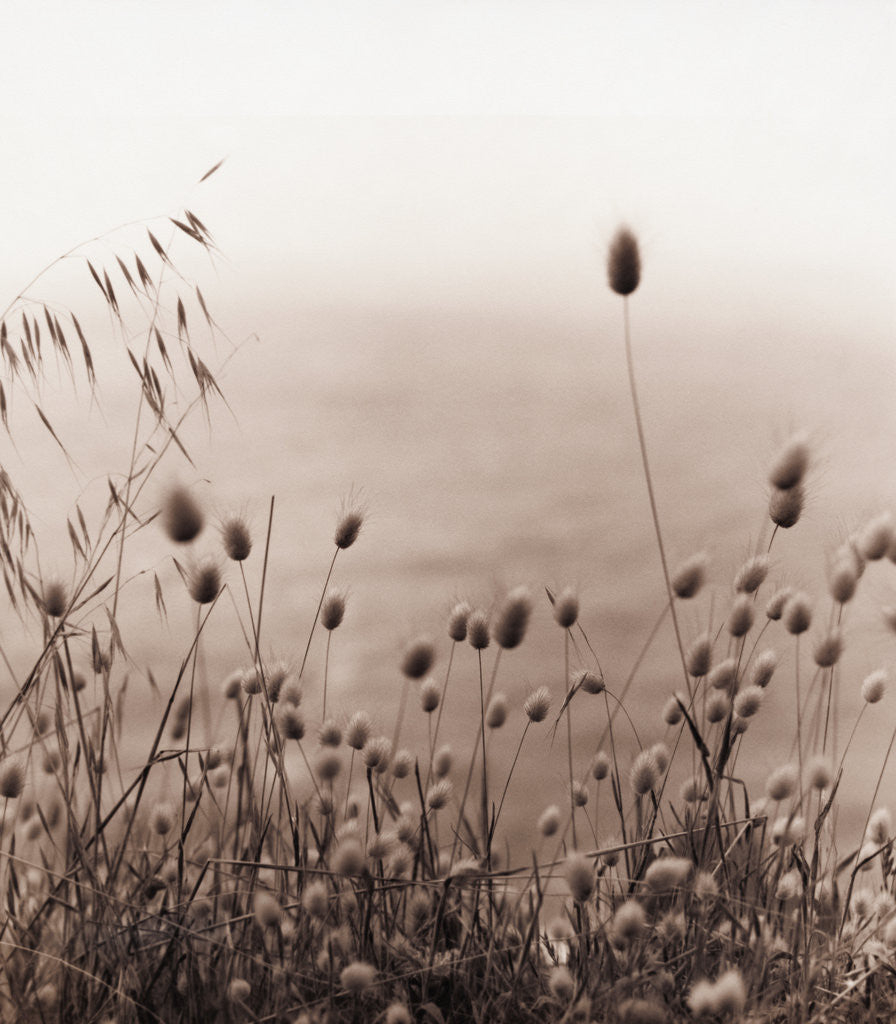 Detail of Grasses by the Ocean by Corbis